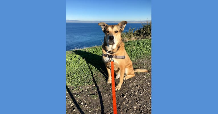 Photo of Thor, an American Pit Bull Terrier, German Shepherd Dog, and Rottweiler mix in Torrance, California, USA