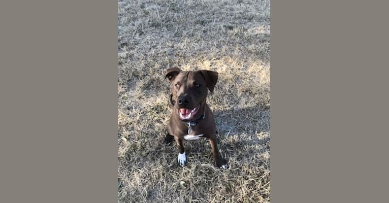 Photo of BamBam, an American Pit Bull Terrier, American Staffordshire Terrier, and Mixed mix in Colorado Springs, Colorado, USA