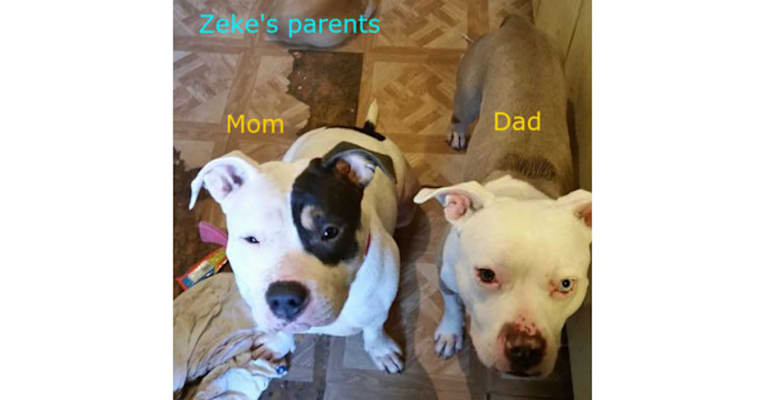 Photo of Zeke, an American Pit Bull Terrier  in Upton, KY, USA