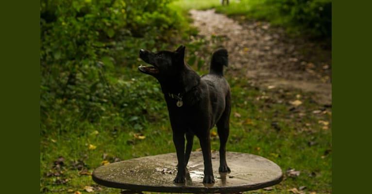 Photo of Akiko, a Kai Ken  in Bambrugge, Erpe-Mere, Belgium