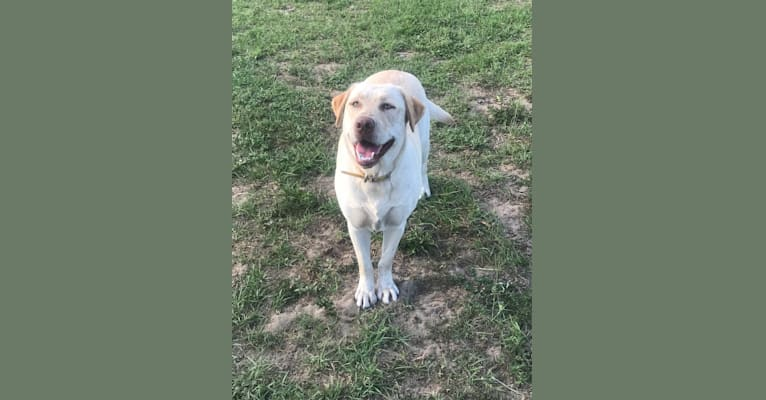 Photo of Mercy, a Labrador Retriever  in Brooksville, FL, USA