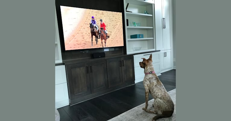 Photo of Stella, an Australian Cattle Dog, American Pit Bull Terrier, Chinese Shar-Pei, and Mixed mix in Hudson, Ohio, USA