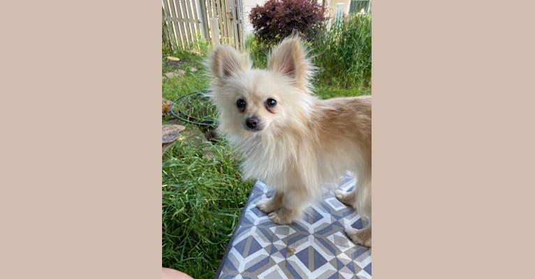 Photo of Sofia, a Pomeranian  in Hornitos, California, USA