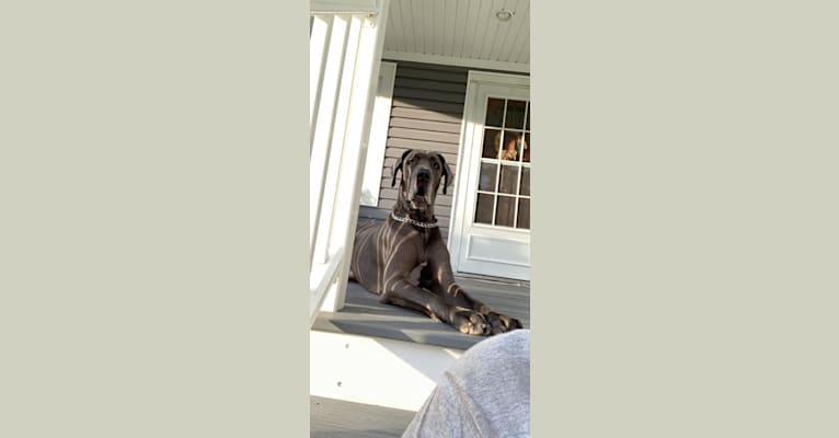 Photo of Zane, a Great Dane  in Illinois, USA