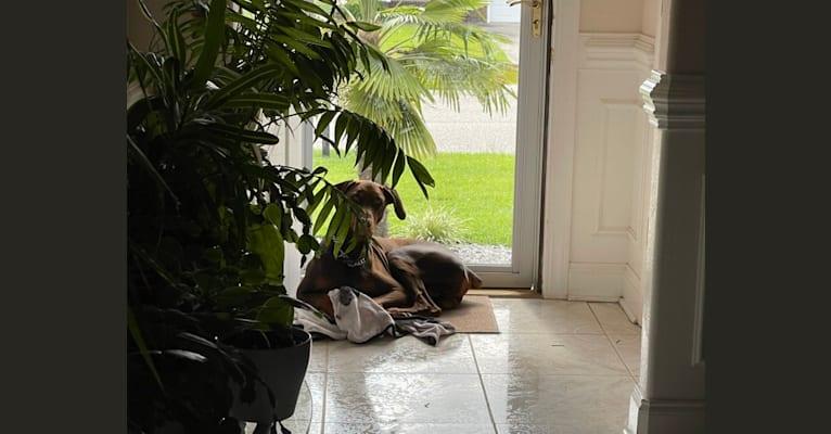 Photo of Darcy, a Doberman Pinscher  in Rock Hill, South Carolina, USA