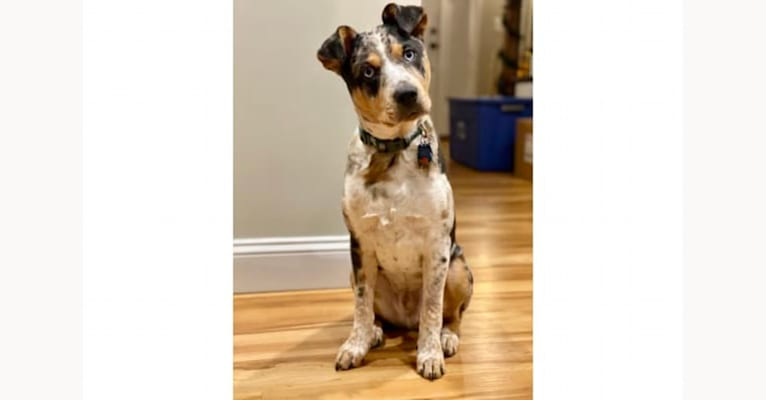 Photo of Duncan, an Australian Cattle Dog, American Pit Bull Terrier, Alaskan Malamute, Chow Chow, and Mixed mix in Douglas, Massachusetts, USA