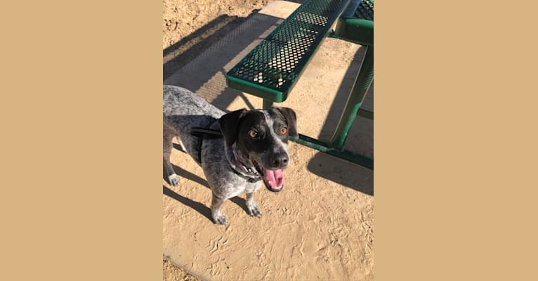 Photo of Joone, an Australian Cattle Dog, Chow Chow, Russell-type Terrier, Beagle, German Shepherd Dog, and Mixed mix in Denton, Texas, USA