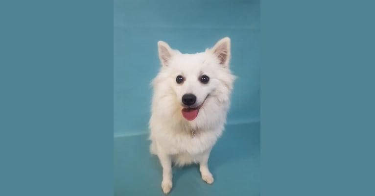 Photo of Loki, a Pomeranian, American Eskimo Dog, and Mixed mix in Coquitlam, British Columbia, Canada