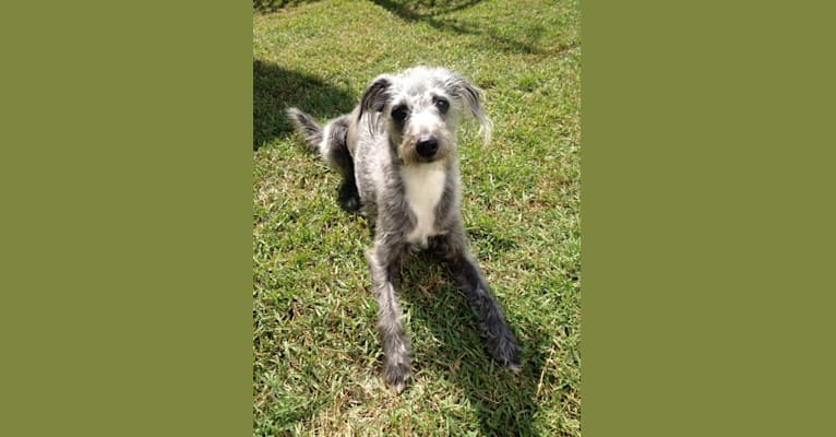 Photo of Joey, a Bedlington Terrier and Russell-type Terrier mix in Sydney NSW, Australia