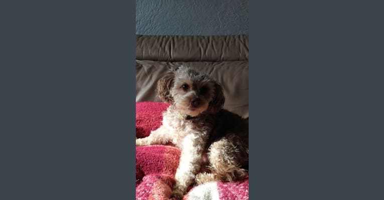 Photo of Cleo, a Poodle (Small) and Chihuahua mix in Salt Lake City, UT, USA