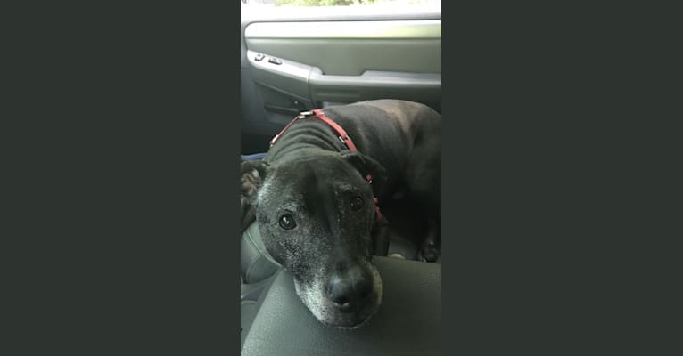 Photo of Shadow, an American Pit Bull Terrier and American Staffordshire Terrier mix in New York, USA