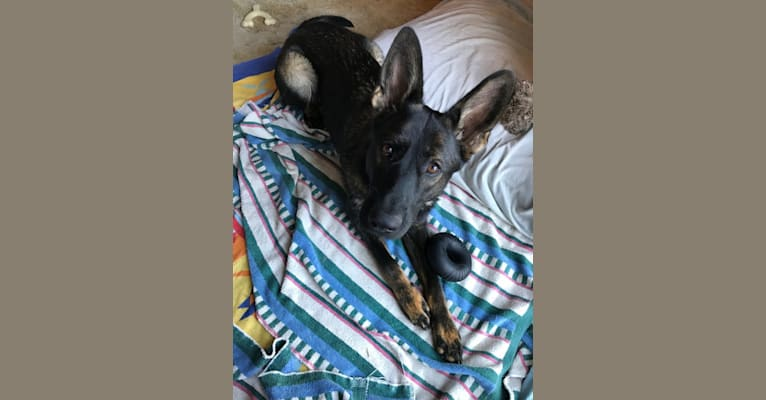 Photo of Gemma, a German Shepherd Dog  in Lower Lake, CA, USA