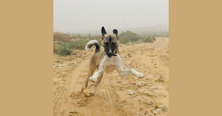 Photo of Ninja, an Arabian Village Dog  in Saudi Arabia