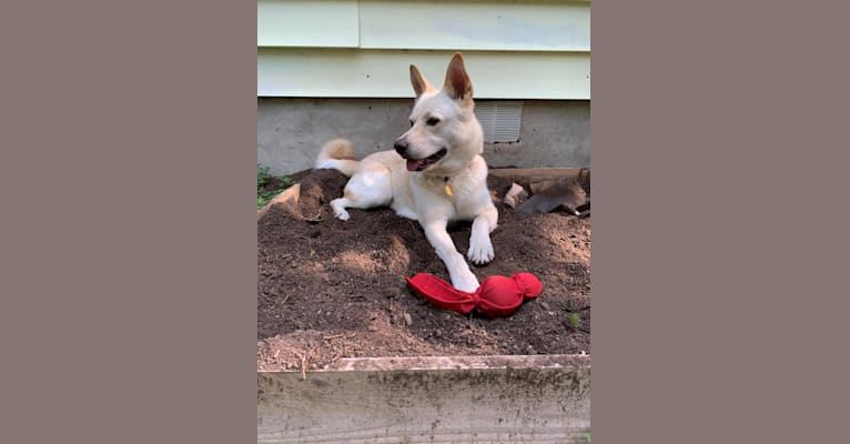 Photo of Rio, an Akita and German Shepherd Dog mix in Gonzales, TX, USA