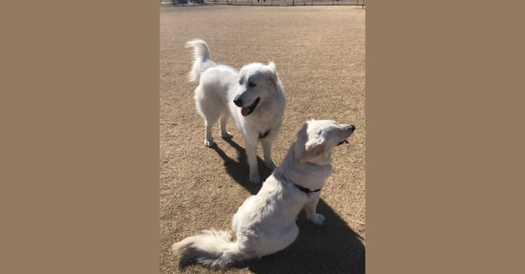 """Photo of Looney """"Chik'in Mini Bandit"""" Bear, a Great Pyrenees  in Texas, USA"""