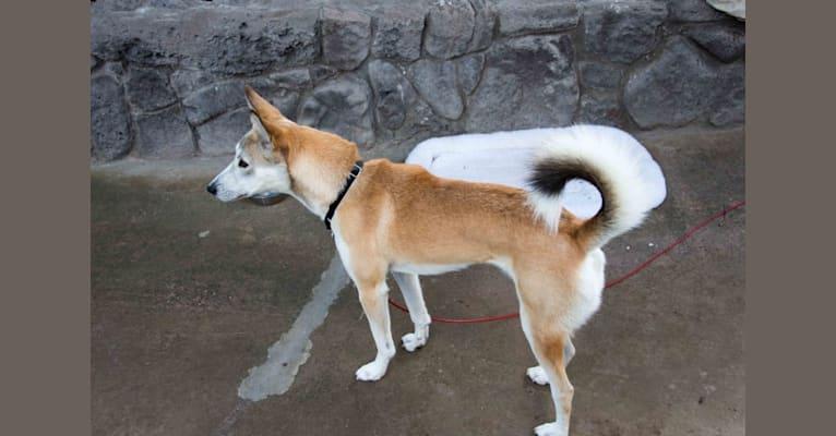 Photo of Foxy, an Arabian Village Dog  in Dammam, Eastern Province, Saudi Arabia