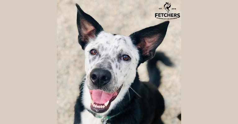 Photo of Milo, a German Shepherd Dog, Siberian Husky, Saint Bernard, Border Collie, American Bulldog, and Miniature Pinscher mix in Fort Yates, North Dakota, USA