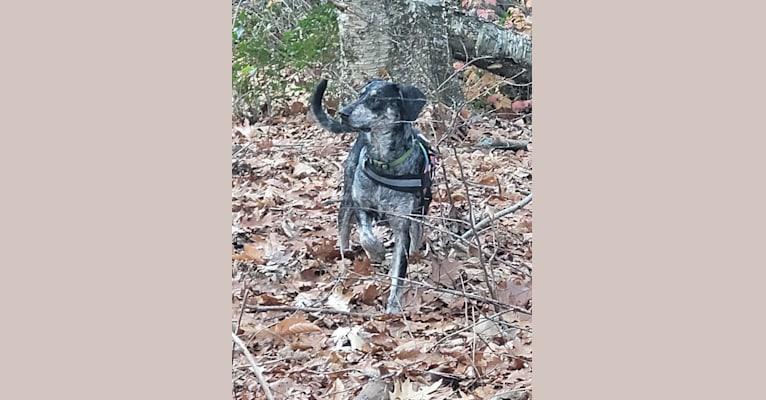Photo of Elliott Mahomes Rinehart Phipps, a Catahoula Leopard Dog, Australian Shepherd, German Shepherd Dog, and Labrador Retriever mix in Arkansas, USA