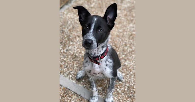 Photo of Enzo, a Miniature/MAS-type Australian Shepherd, Australian Cattle Dog, Russell-type Terrier, Collie, and Mixed mix in Indianapolis, Indiana, USA