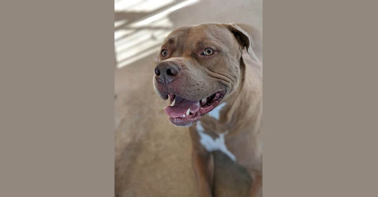 Photo of Lucian, an American Bulldog, Neapolitan Mastiff, Dogue de Bordeaux, and American Staffordshire Terrier mix