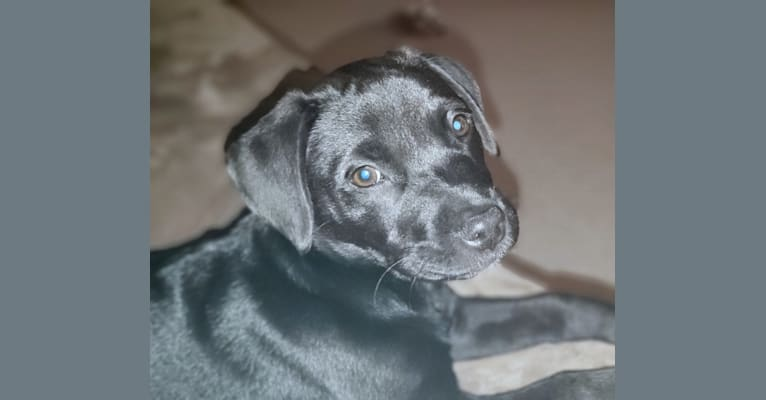 Photo of Bree, an American Pit Bull Terrier, Labrador Retriever, and Mixed mix in Greenville, South Carolina, USA