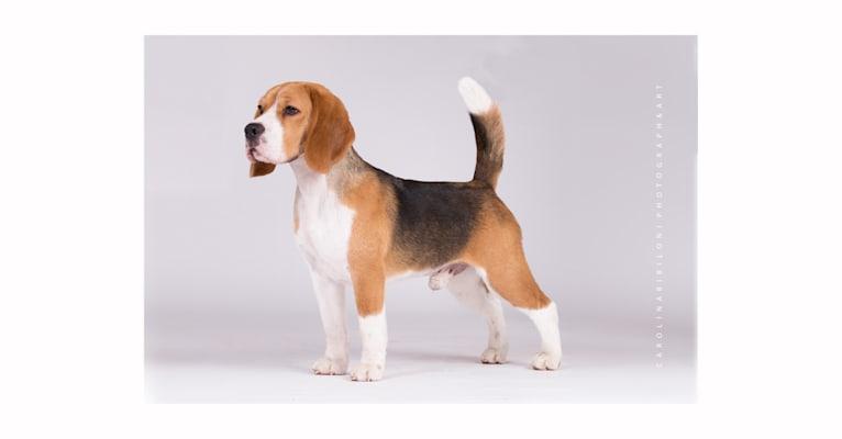 Photo of Nathan, a Beagle