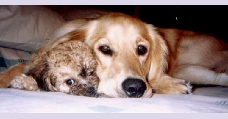 Photo of Laci, a Poodle (Small), Cocker Spaniel, and Bichon Frise mix in North Carolina, USA
