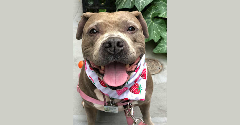 Photo of Stevie Nicks, an American Staffordshire Terrier  in New York, New York, USA