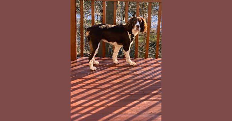 Photo of Karma, an English Springer Spaniel  in Lititz, Pennsylvania, USA