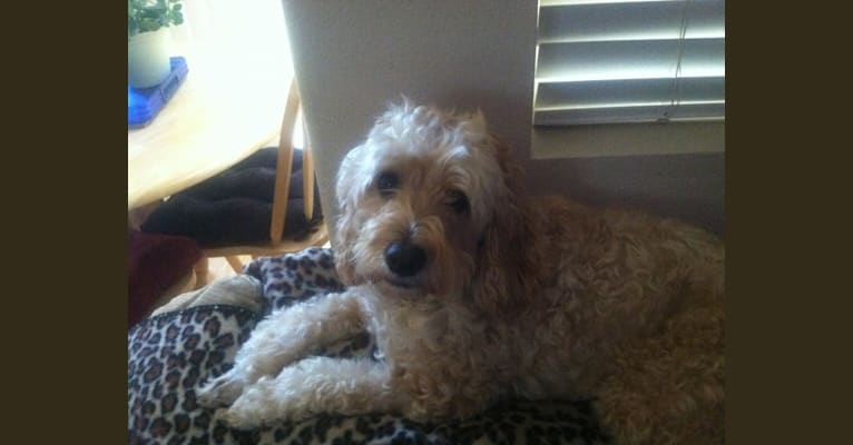Photo of Poonie, a Poodle (Small), Bichon Frise, and Cocker Spaniel mix in Eugene, Oregon, USA