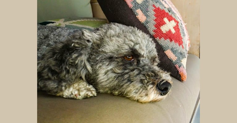 Photo of iLLY, a Poodle (Small), Chihuahua, Cocker Spaniel, and Shih Tzu mix in Stafford Township, New Jersey, USA