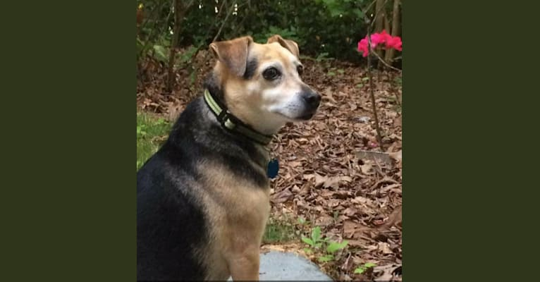 Photo of Buddy, a Russell-type Terrier, Chihuahua, and Mixed mix in Newnan, Georgia, USA