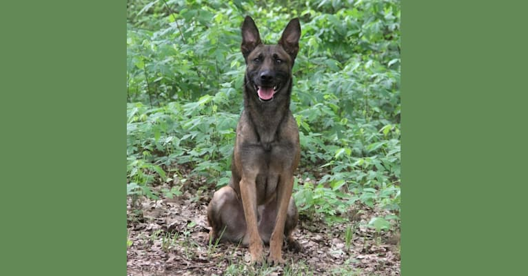 Photo of Cairo, a Dutch Shepherd  in Netherlands