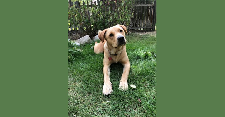 Photo of Remy, a Chow Chow, American Pit Bull Terrier, Labrador Retriever, American Staffordshire Terrier, and Mixed mix in Nuzzles & Co. Pet Rescue and Adoption — Adoption Center, North Landmark Drive, Park City, UT, USA