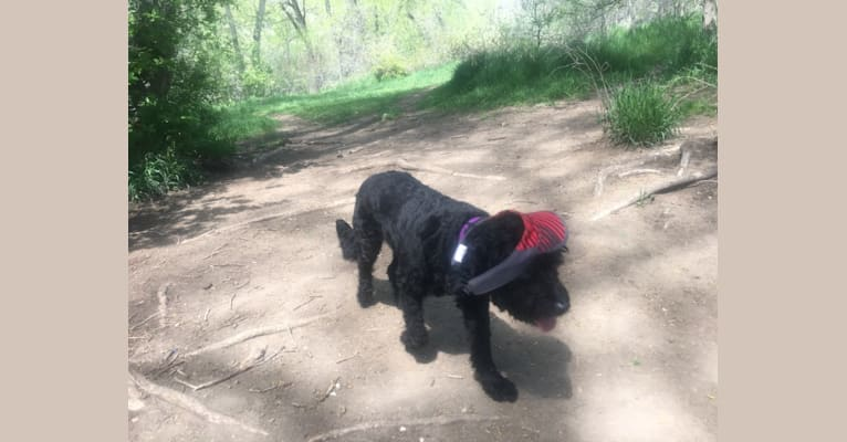 "Photo of Charles Xavier ""Chuck"" Blackmon, a Poodle (Small), Labrador Retriever, English Springer Spaniel, English Cocker Spaniel (Working Type), and Mixed mix in Denver, Colorado, USA"