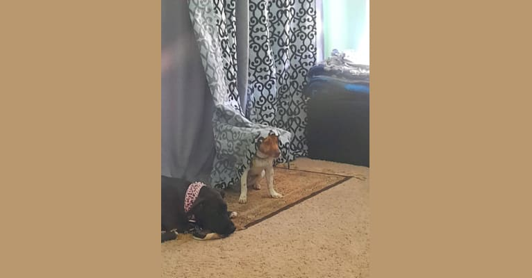 Photo of Peanut Butter, a Chihuahua and Pomeranian mix in Bakersfield, California, USA
