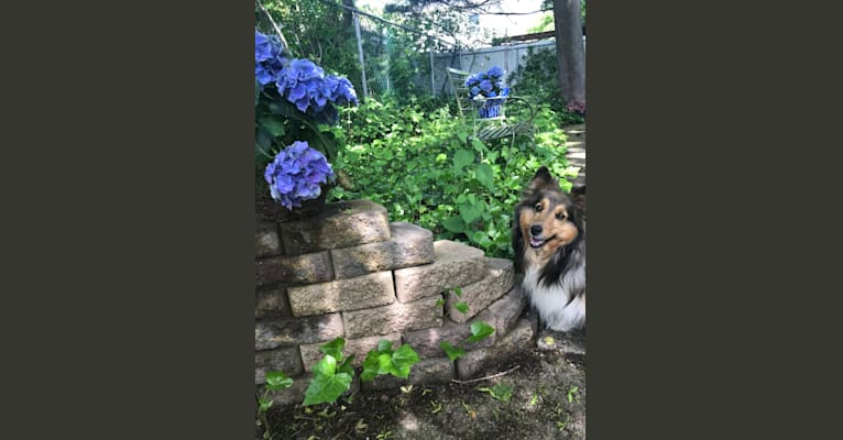 Photo of Feather, a Shetland Sheepdog  in Northport, New York, USA