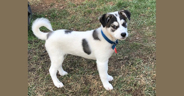 Photo of Holly, an American Pit Bull Terrier, American Eskimo Dog, Labrador Retriever, Great Pyrenees, and Mixed mix in West Virginia, USA