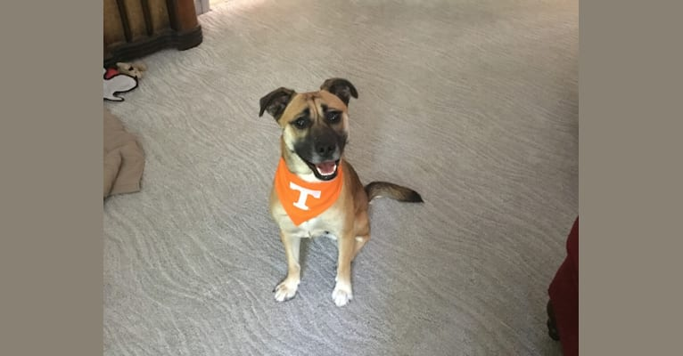 Photo of Susie, a Labrador Retriever, Chihuahua, Boxer, and Australian Cattle Dog mix in Knoxville, Tennessee, USA