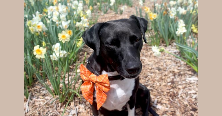 Photo of Lumos, an American Pit Bull Terrier, Treeing Walker Coonhound, Border Collie, Boxer, and Mixed mix in Stillwater, Oklahoma, USA