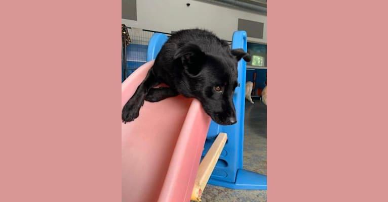Photo of Kona, a Siberian Husky, Chow Chow, and Mixed mix in South Carolina, USA