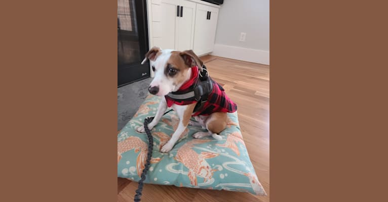 Photo of Klaus, an American Pit Bull Terrier and Chihuahua mix in Gainesville, Florida, USA