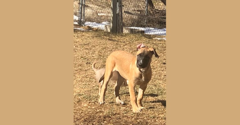 Photo of Biggie Smalls, a Belgian Malinois and American Pit Bull Terrier mix in Westminster, Colorado, USA