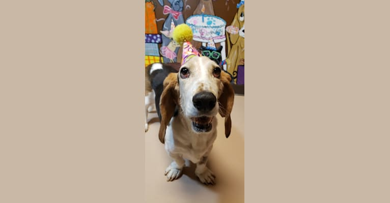 Photo of Booboo, a Basset Hound  in Muskego, Wisconsin, USA