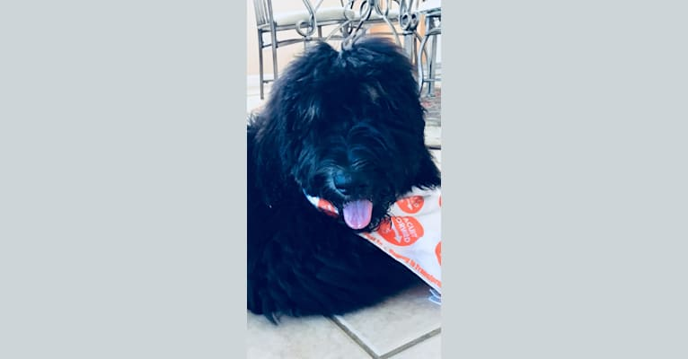 Photo of Trotsky, a Bernedoodle  in Greenville, SC, USA