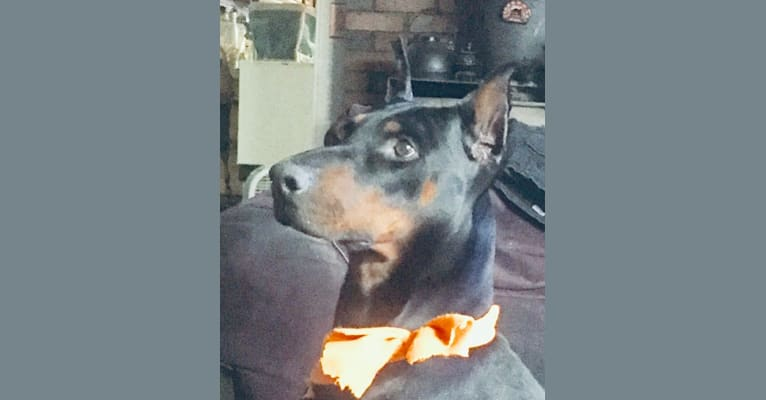 Photo of Engelhoff's Zeiger des Waldes, a Doberman Pinscher  in Georgia, USA