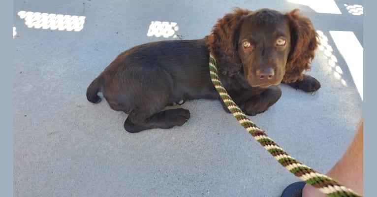 Photo of Sasha, a Boykin Spaniel  in Hodges, SC, USA