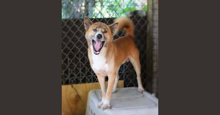 Photo of MELBOURNE, a New Guinea Singing Dog