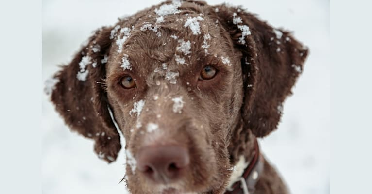 Photo of Bruno, a Lagotto Romagnolo  in Middle Kingdom Farm, Ontario 7A, Bethany, ON, Canada