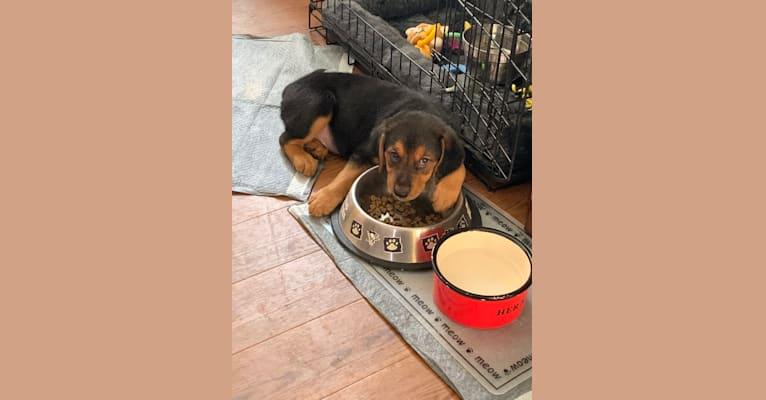 Photo of Sullivan, an American Foxhound, Labrador Retriever, and Mixed mix in Virginia, USA